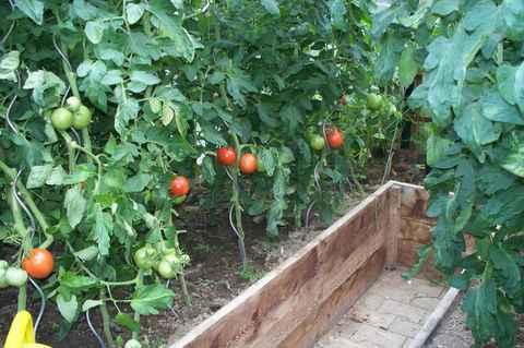 Den tomatenpflanzen werden nach und nach von unten her die