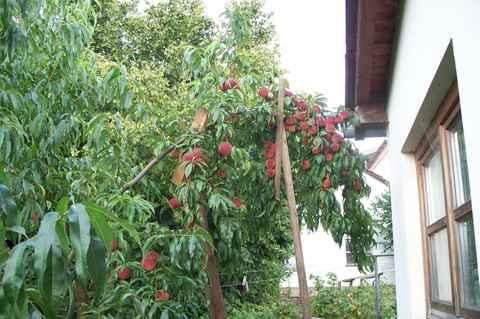 Obstgarten - Pfirsichbaum im garten ...