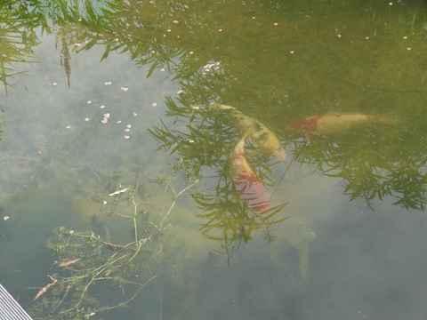 Teich fische for Was fressen fische im teich